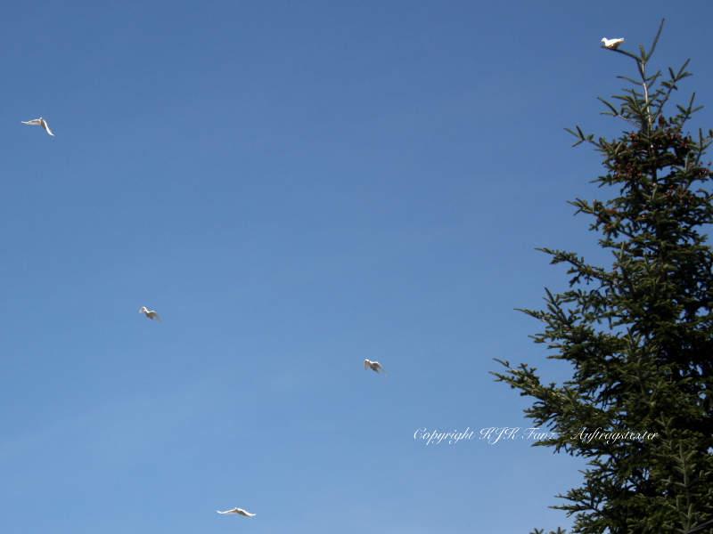 Die kleine weiße Taube